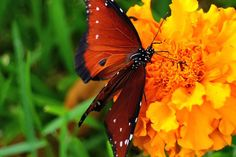 Male Queen butterfly on French Marigolds, Coral Springs, Florida Red River Gorge, Image Resources, Tumblr Image, Dream Book, Coral Springs, Image Archive, You Are The World, Art Institute Of Chicago, Photo Essay