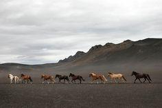 Chevaux islandais - ISLANDE www.aventuresenislande.fr