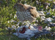 Juvenile male Coopers Hawk feasting on a pigeon by mgsbird, via Flickr