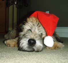 Wheaten - Jazper's 1st Christmas