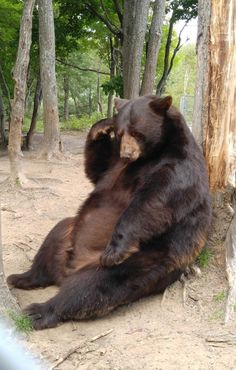 Nature Animals, Animals And Pets, Baby Animals, Funny Animals, Cute Animals, Baby Pandas, Majestic Animals, Animals Beautiful, Bear Photos