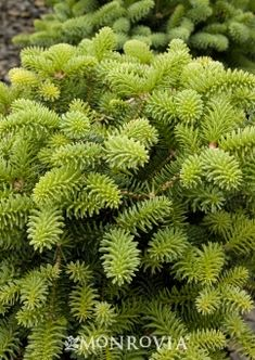 Blue Dwarf Noble Fir - Striking powder blue foliage. Attractive, low-growing landscape plant ideal for small landscapes as a specimen or rock garden accent. Evergreen.