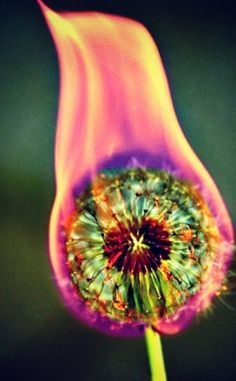 On Fire By Mathilda Krouwel ...feels slightly psychopathic... poor dandelion. :/
