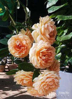 Hoa hồng leo Hoàng Bảo 68 Hoa chùm màu vàng cam với sắc hoa quyến rũ - Hình ảnh chụp tại Trang trại Hoa cây cảnh Thăng Long