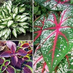 Best foliage plants for your gardens However, flower containers create different attractions in gardening and landscaping, but choosing the right foliage plant can have a lot of impact in your garden....read.. #gardening #containergardening #landscaping #Foliageplant #houseplants #naturebring Flower Containers, Container Plants, Container Gardening, Flowering Plants, Foliage Plants, Planting Flowers, Best Indoor Plants, Outdoor Plants, Garden Beds