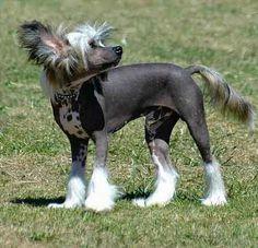 Powder Puff Dog Breed | dog breeds belgium dog breeds new dog breeds long haired dog breeds ...