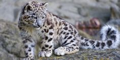 Wouldn't it be a thrilling experience to spot snow leopard on your expedition to #NandaDevi National Park