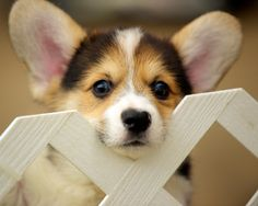 Corgi Puppies 92 | by evocateur