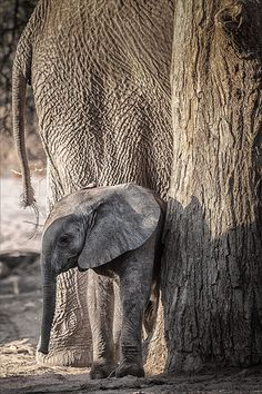 "Little Elephant ~~ Wonderful! After all, we call them tree ""trunks"" for a reason! Love this photo of different textures. Elephants Never Forget, Save The Elephants, Baby Elephants, Little Elephant, Elephant Love, African Elephant, African Animals, Beautiful Creatures, Animals Beautiful"
