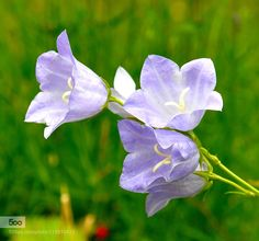 Delicate.... by IbKroghJohansen #nature