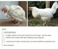 BUT REMEMBER! Free range to companies are thousands of chickens in a small room cramped, and some dying trapped inside the feeders! No one treats these animals right and it's horrible and sick! Animals And Pets, Funny Animals, Cute Animals, Animals Planet, Animal Funnies, Strange Animals, Animal Memes, Wild Animals, Baby Animals