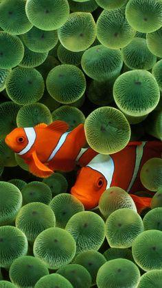 Ocellaris and Sea Anemone www.flowcheck.es Taller de equipos de buceo #buceo #scuba #dive
