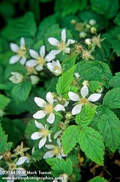 native Trailing Blackberry (Rubus ursinus)  Tastes better and is less invasive than Himalayan blackberries. I want to try trellising it.