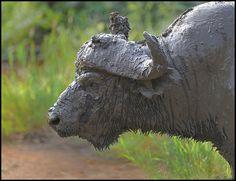 Cape Buffalo  Looks like he had a chocolate bath. Some oldies.