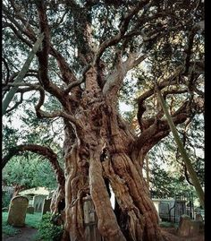 Forthingale Yew, Perth, Scotlabd.  Thought to be one of the oldest living things in Europe.