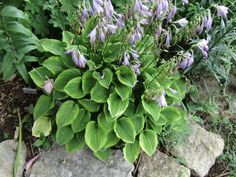 hosta golden tiara - Google Search