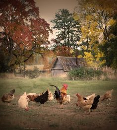 Colours of September ~ Photo by Elena Shumilova on 500px .... Chickens & Cockerel in the Field with an Old Barn in the Distance ....