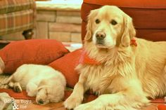Golden Retriever puppy and adult Golden-www.goldenboysandme.com