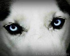 Husky Dog Photography Black and white,blue eyes,Gifts under 25,pet,canine,dramatic closeup,dog lover's gift idea on Etsy, $20.00
