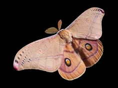 The moth spirit guide brings lessons of self-exploration and transformation. Read black moth symbolism, white moth meaning, brown moth in the house & more! Moth Symbolism, Pink Moth, Insects Names, Emperor Moth, Flight Patterns, Butterflies, Dark, Healthy Life, Nature