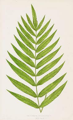 Lowe Ferns British and Exotic 1856