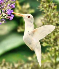 Albino Hummingbird. Reminded me of @Deanna Ockunzzi :) It's so beautiful!