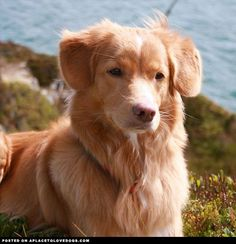 Nova Scotia Duck Tolling Retriever Beautiful Tia, Nova Scotia Duck Tolling Retriever, 6 years old, from Norway