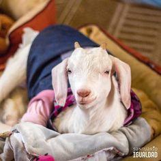 Mis papis dicen que ya estoy lista para unirme al grupito de cabras jóvenes de Julieta y Antonia. Suena divertido!  - - #santuarioigualdad #santuariodeanimales #instachile #chile #chilegram #instachile_ #instachilegram #veganoschile #vegetarianoschile #mascotas #mascotasfelices #mascotaschile #mascotasdeinstagram #mascotasconestilo #mascotasadorables #paz #ternura #cabra #cabrita #sincrueldad #respetaalosanimales #sincrueldadanimal