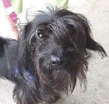 Meet Raisin, a Petfinder adoptable Petit Basset Griffon Vendeen Dog | Bethesda, MD | Raisin -- PBGV/Dachshund -- Male -- 4 yrs old -- 10 lbs -- Black -- Fuzzy SweetheartFirst off,...