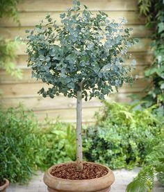little Eucalyptus tree
