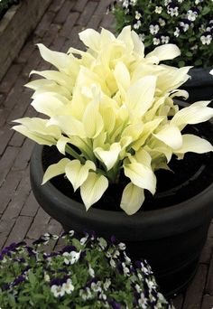Hosta White Feather is quite unique in color. As it appears the leaves are completely white. So, so pretty!