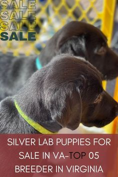 Silver Lab Puppies for sale in VA at a reasonable price is dependent on the silver lab breeders in Virginia. Therefore, we tried to make a list of quality Labrador breeders selling healthy silverlabs against the nominal price........ #labradorofficial #labradorlife #labradores #labradorsofinsta Labrador Breeders, Labrador Puppies For Sale, Charcoal Lab, Silver Lab Puppies, Puppy Socialization, Silver Labs, Puppy Collars, Getting A Puppy, Retriever Puppy
