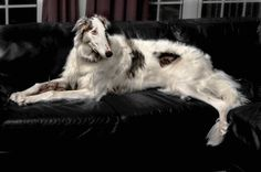 z- Borzoi- On Couch (2)