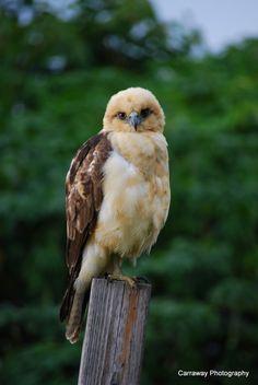 Hawaiian I'o Hawk