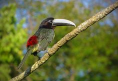 Foto araçari-de-bico-branco (Pteroglossus aracari) por Aisse Gaertner | Wiki Aves - A Enciclopédia das Aves do Brasil