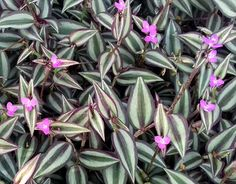 Tradescantia zebrina com os nomes populares de Lambari, Judeu errante e Trapoeraba zebra, dentre outros Fake Plants Decor, House Plants Decor, Hanging Plants, Plant Decor, Indoor Plants, Hydroponic Gardening, Container Gardening, Pink Plant, Colorful Plants