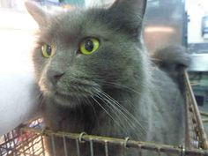 I am a spayed female, gray Domestic Longhair mix. The shelter staff think I am about 1 year and 2 months old. I have been at the shelter since Jul Nebelung, 2 Month Olds, Kinds Of Cats, Friesian Horse, Find Pets, Lost & Found, 2 Months, Humane Society, Cat Breeds