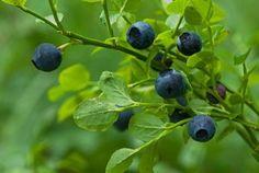 Growing Blueberries - How To Grow Delicious Blueberries Fruit Garden, Edible Garden, Garden Plants, Bucket Gardening, Gardening Tips, Sustainable Gardening, Vegetable Gardening, Planting Blueberry Bushes, Growing Blueberries