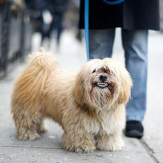 Harry, Lhasa Apso, Bleeker & W Broadway, New York, NY//the dogist
