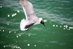 Seagull | by rhilton4u Over The Years, Photography, Photograph, Fotografie, Photoshoot, Fotografia