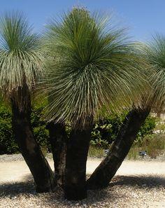 Xanthorrhoea - Grass Trees Native to Australia.