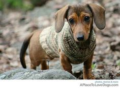 Mini doxy in a sweater. ♥♥♥♥♥♥ dauchshund dauchshunds weenier weeniers weenie weenies hot dog hotdogs doxie doxies ♥♥♥♥♥♥