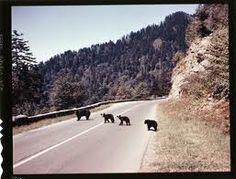 Potential bear jam in Smokies! Mountain Cabin Rentals, Pigeon Forge Cabin Rentals, Gatlinburg Cabin Rentals, Smoky Mountains Cabins, Appalachian Mountains, Great Smoky Mountains, Mountain Pictures, Cute Animal Pictures, National Parks