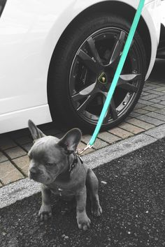 Grey French bulldog puppy