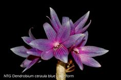 Dendrobium ceraula Blue Color-form