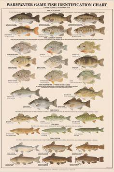 Art Print: Warmwater Gamefish of North America Art Print : Bass Fishing Tips, Gone Fishing, Best Fishing, Trout Fishing, Fishing Lures, Fishing Tricks, Fishing Basics, Fishing Stuff, Fishing Guide