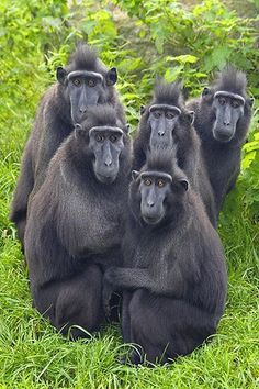 Crested black macaque (macaca nigra) native to the island of Sulawesi, Indonesia. Primates, Mammals, Reptiles, Animals And Pets, Funny Animals, Cute Animals, Beautiful Creatures, Animals Beautiful, Especie Animal
