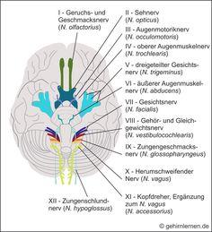 Ihr Portal für Gehirn und Lernen - für Schüler, Studenten, Eltern, Lehrer, Erzieher und für alle, die sich für ihr Gehirn interessieren