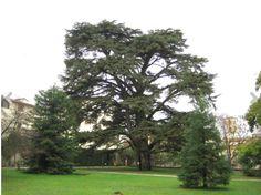 Cedro del Libano si trova nell'Orto botanico di Lucca: alto oltre 22 metri ha un tronco di 6 metri di diametro. Lucca, Italy in Montepulciano, Toscana