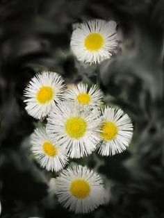 https://flic.kr/p/UarG9u | wild daisy